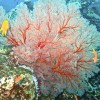 Large Fan Coral Similan Islands
